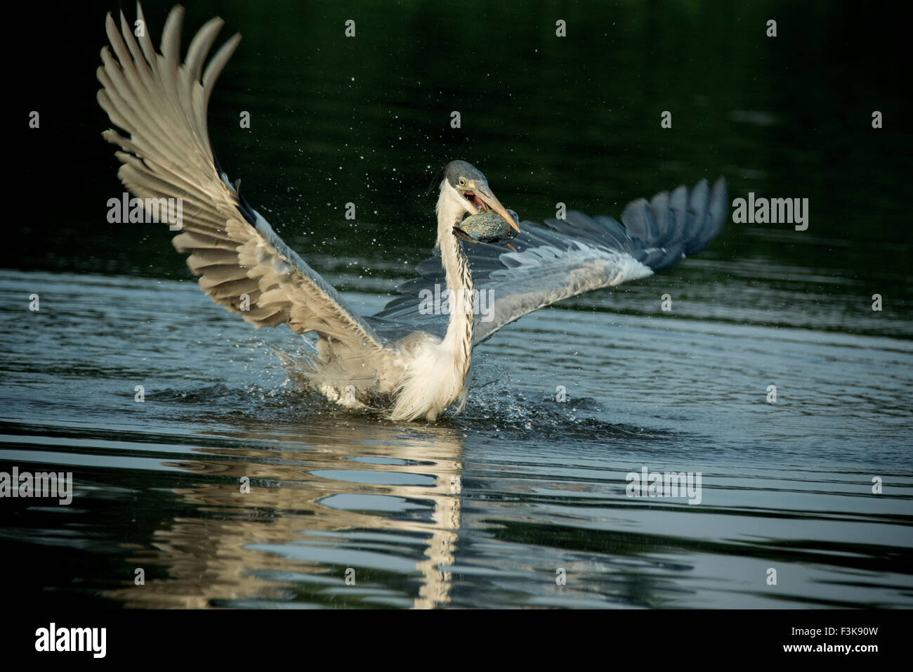 Cocoi Heron or White-necked Heron, Ardea cocoi, wings outspread, a fish in its beak, in the Pantanal, Mato Grosso, Stock Photo