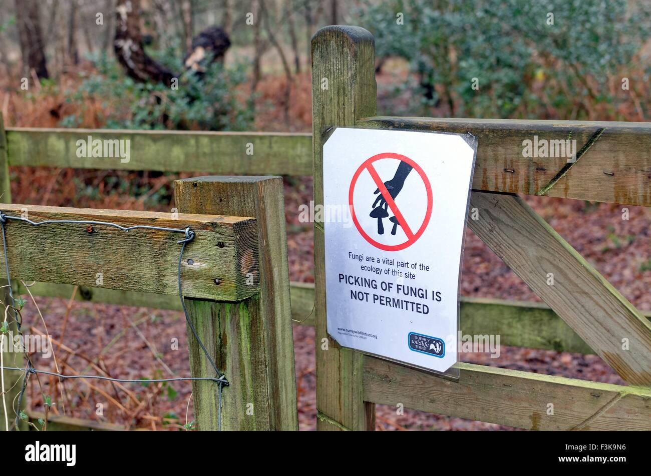 Not permitted to pick fungi sign on woodland gate in Surrey - Stock Image
