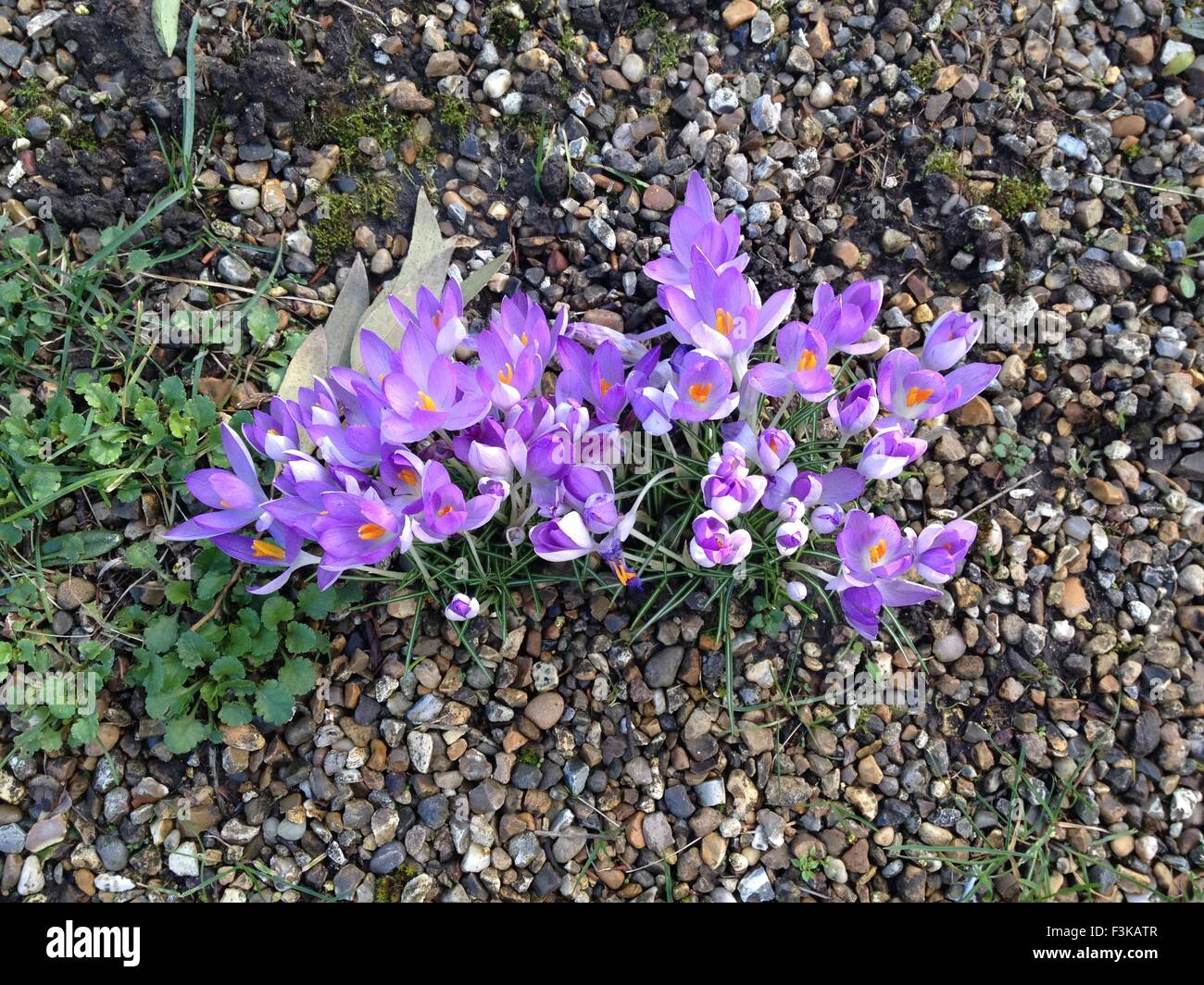 A cluster of purple crocuses sprouting through gravel - Stock Image