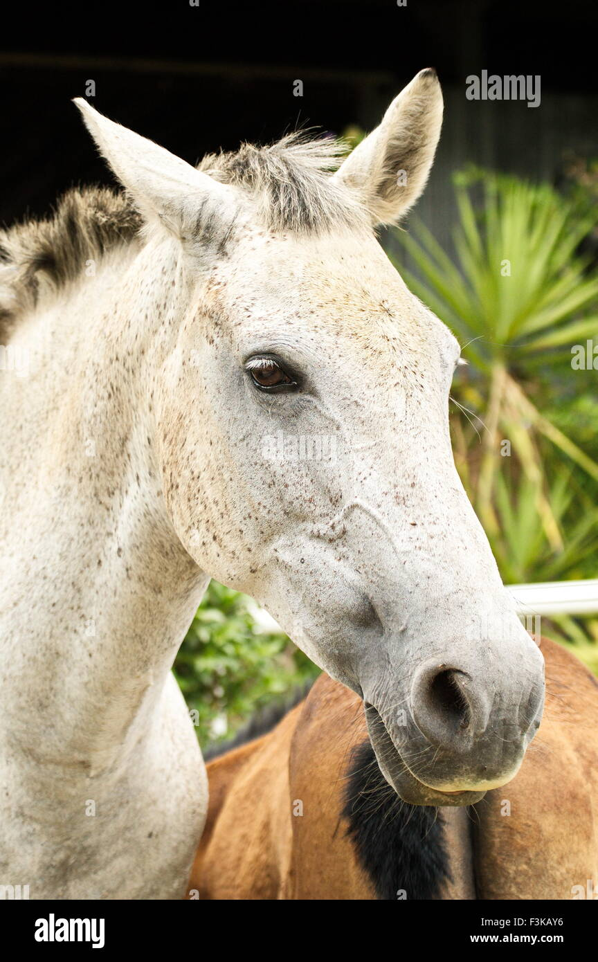 White mare with a fixed eye in an open green meadow - Stock Image