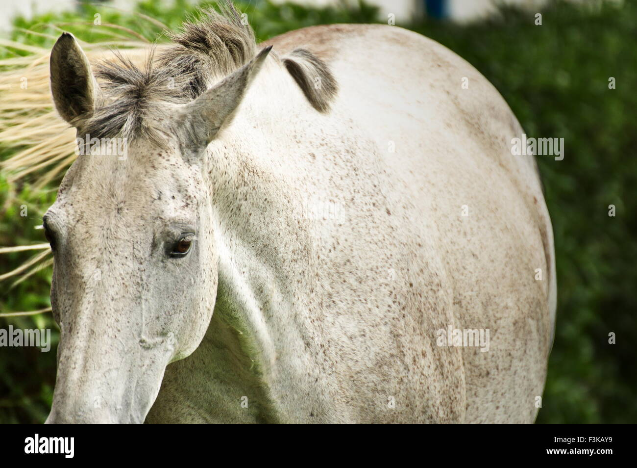White mare walking with a fixed eye in an open green meadow Stock Photo