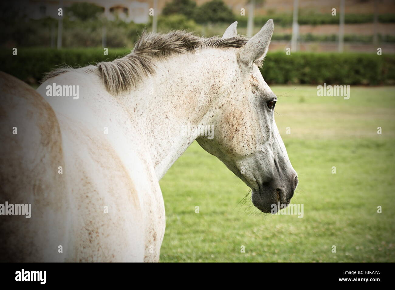 White mare walking away in an open green meadow - Stock Image