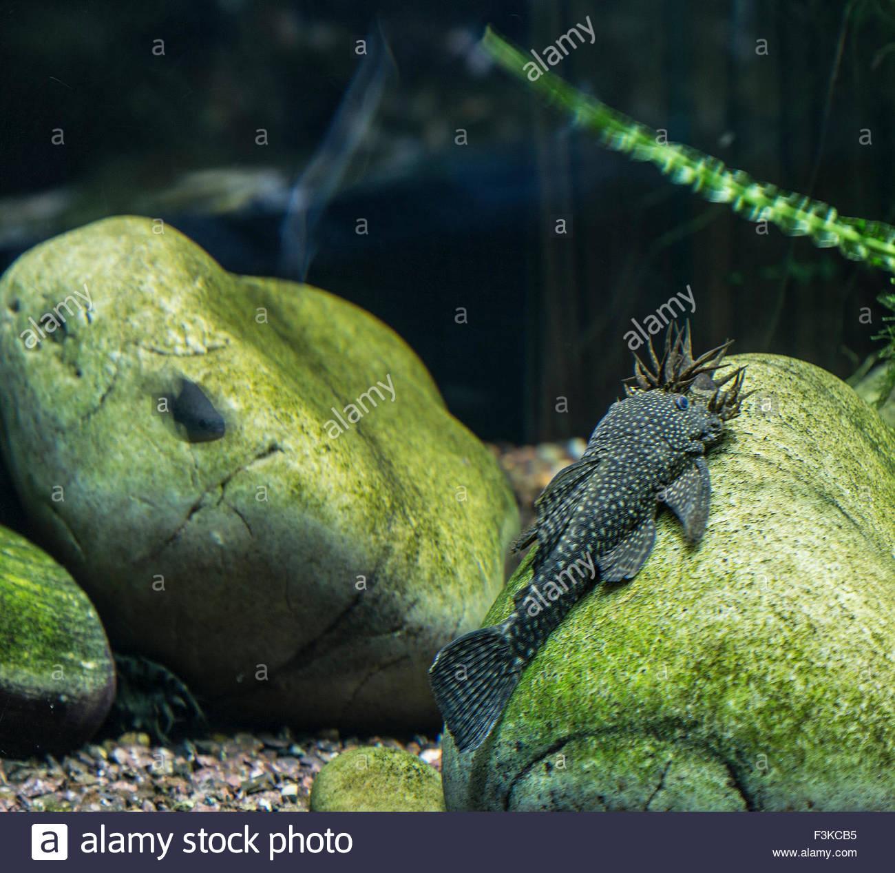 Bristlenose Plecostomus feeding on rock Stock Photo