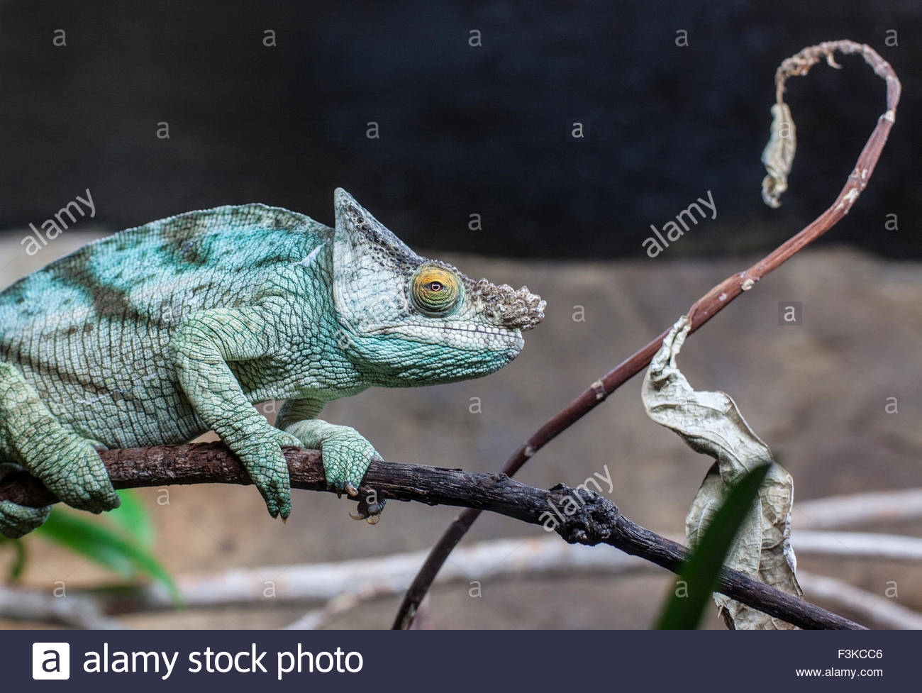 Male Parson's Chameleon with piercing eye - Stock Image