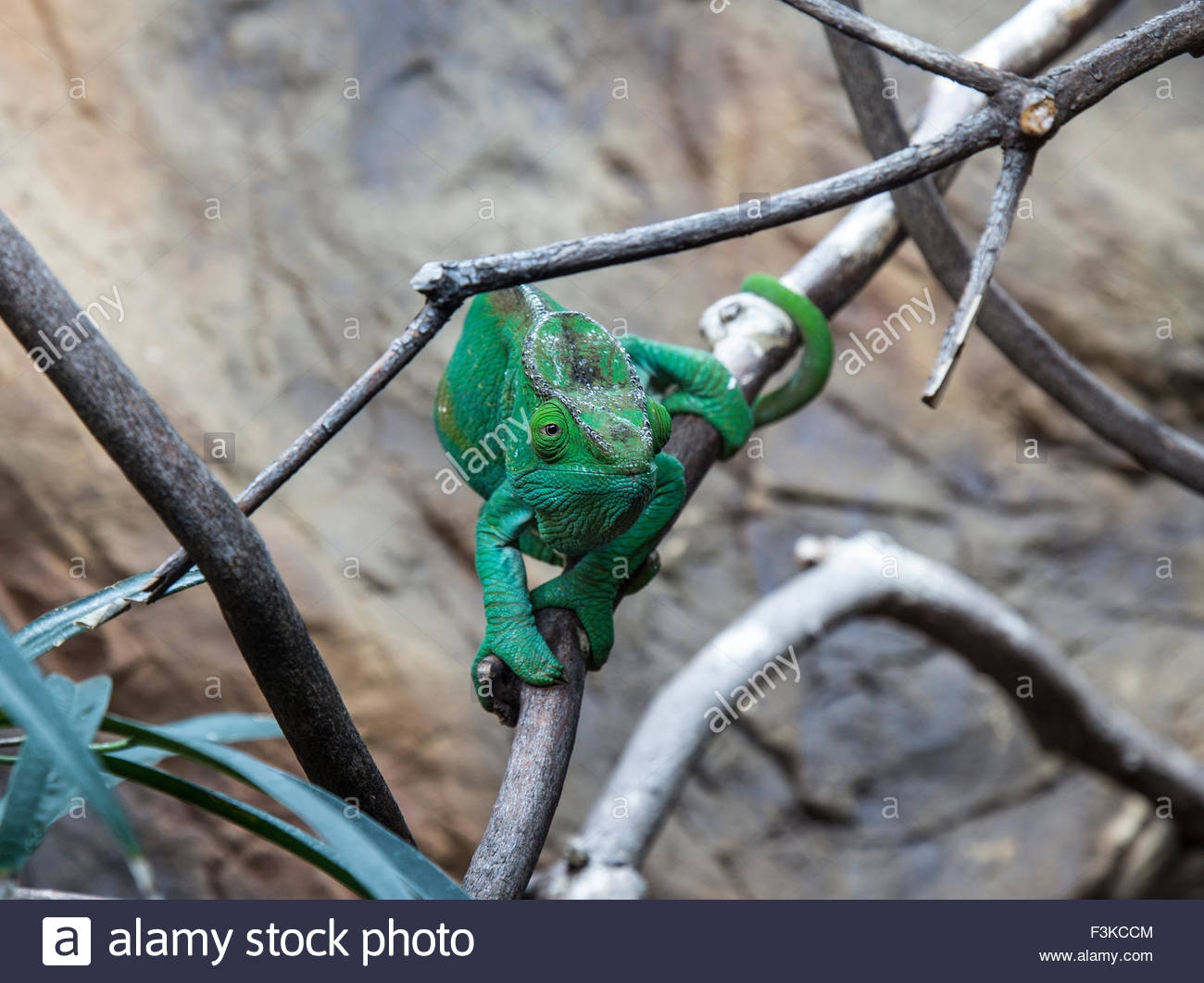 Female Parson's Chameleon with intense stare - Stock Image