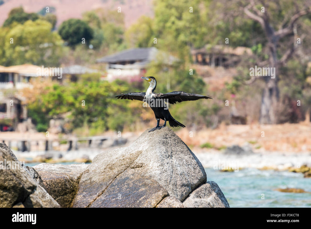 White-breasted cormorant (Phalacrocorax lucidus), a common water bird with outstretched wings, perched on a rock, - Stock Image