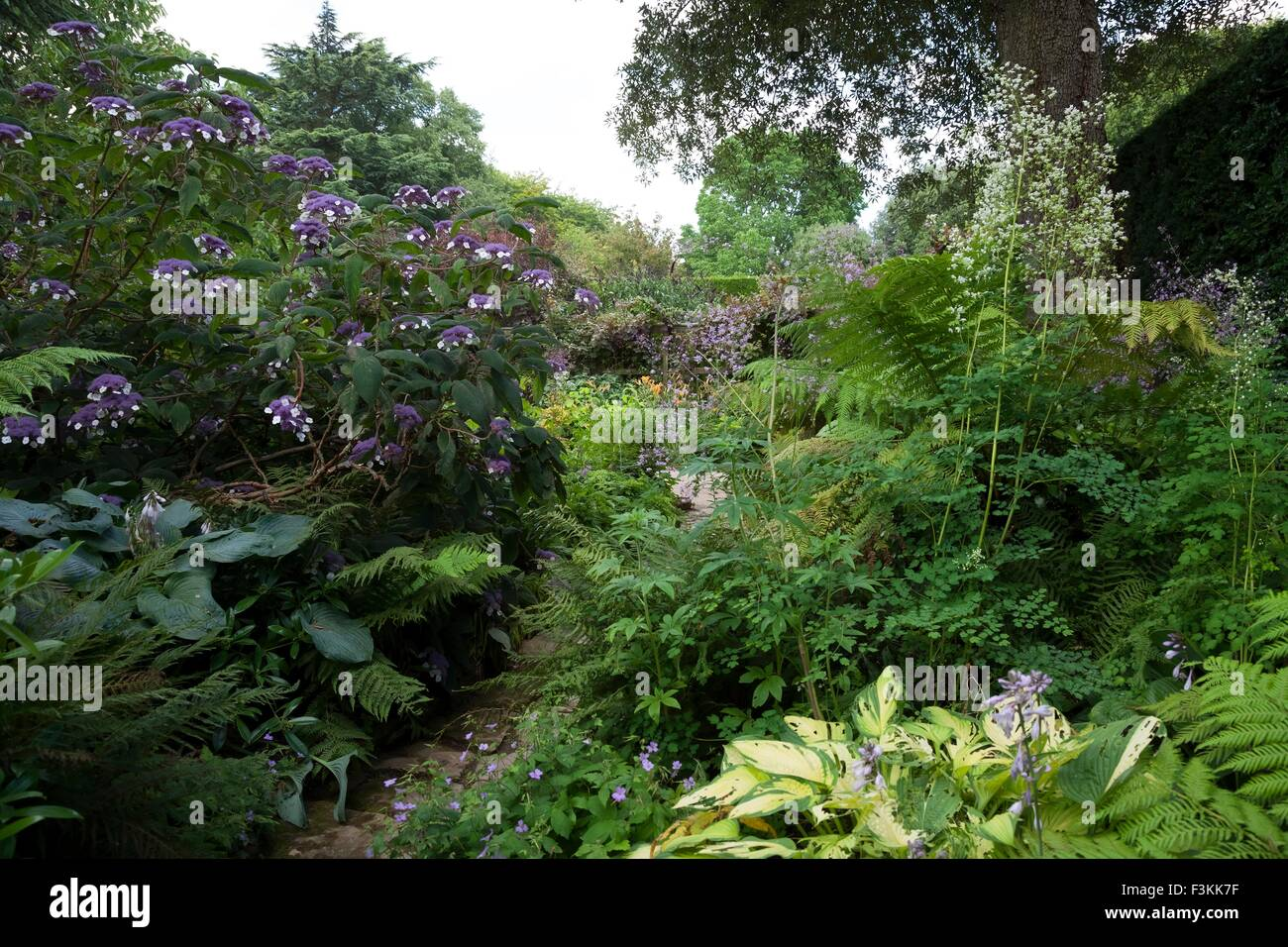 Woodland garden with Hydrangeas, England - Stock Image