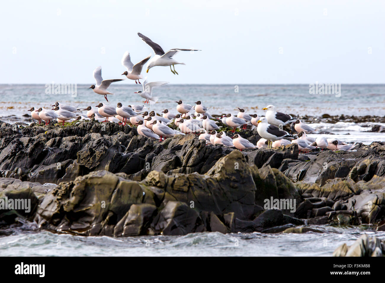 Birds of the Falkland Islands. Brown Hooded Gulls and kelp Gulls on the rocks at Bertha's beach, East Falkland. - Stock Image