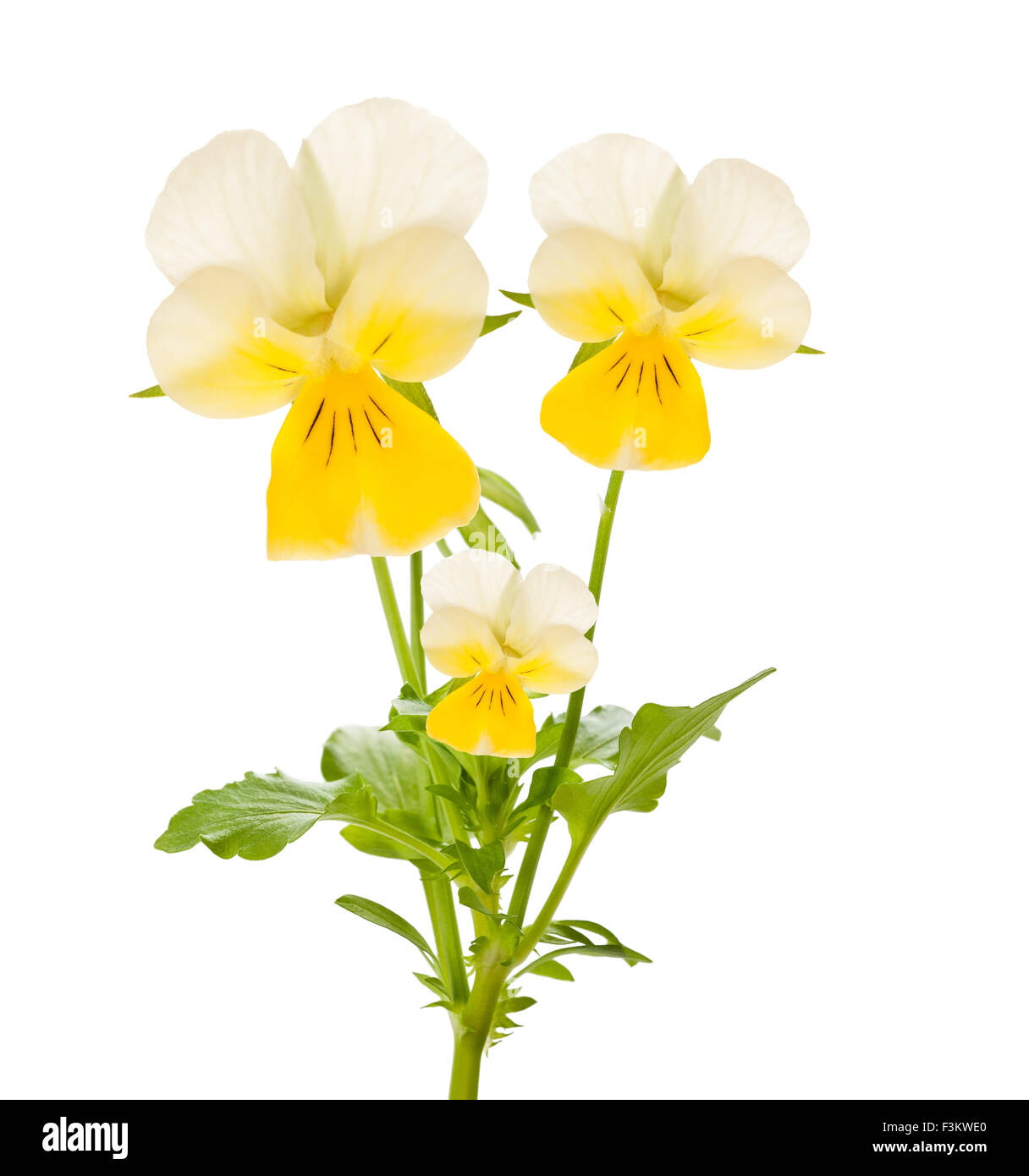 Pansy flowers isolated on white Stock Photo