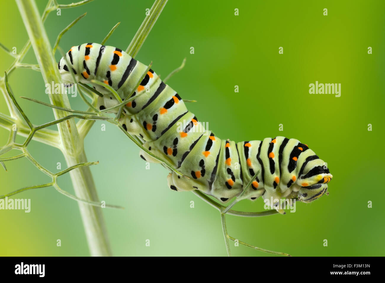 Caterpillar of the Maltese Swallowtail Butterfly eating fennel leaves, 10 days after hatching, about 40 mm long. - Stock Image