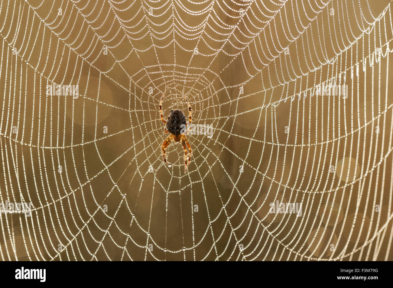 Spider on the web with droplets of dew - Stock Image