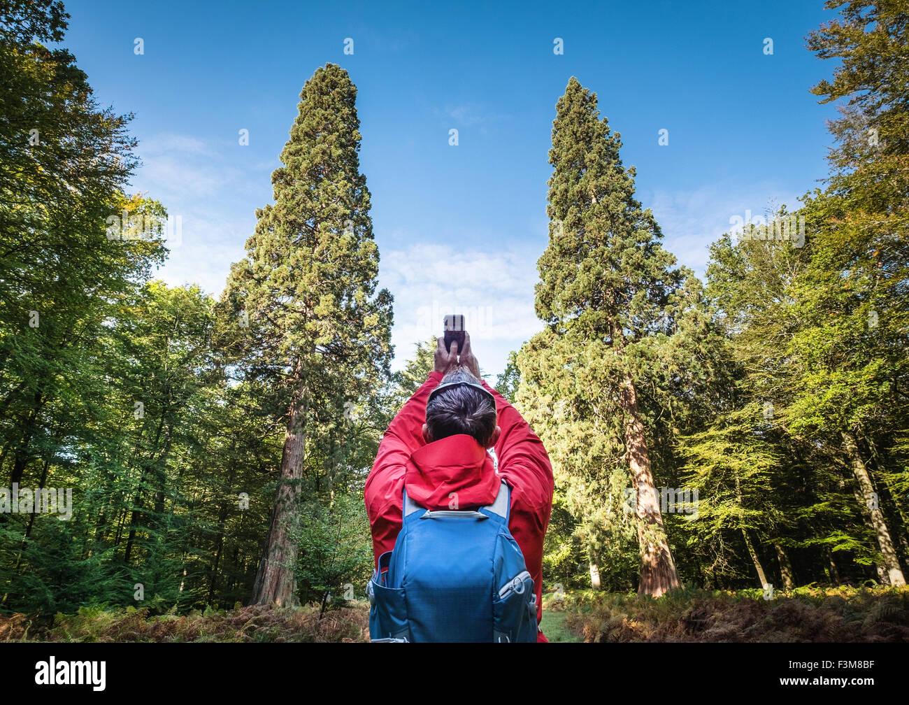 The Giant Sequoia trees, the largest trees in The New Forest National Park weighing over 105 tonnes - Stock Image
