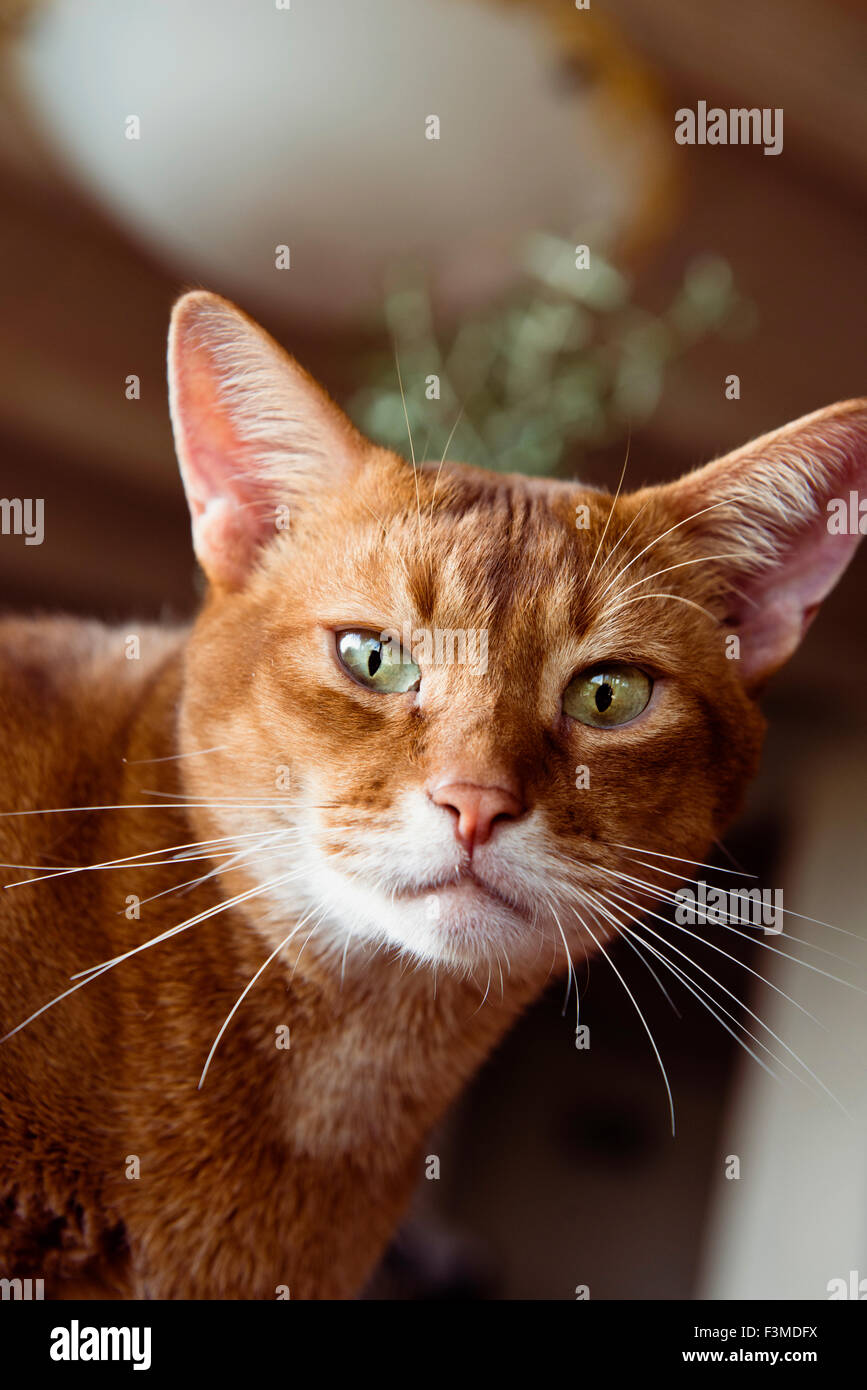 Abyssinian Cat Ginger