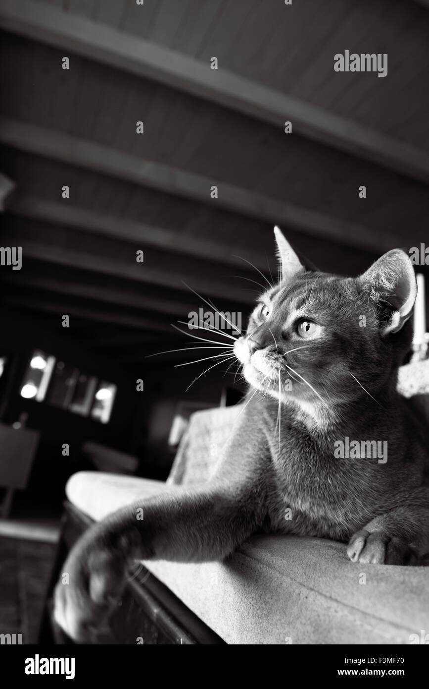 Black And White Portrait Of An Abyssinian Cat Lying On A Stool With Stock Photo Alamy