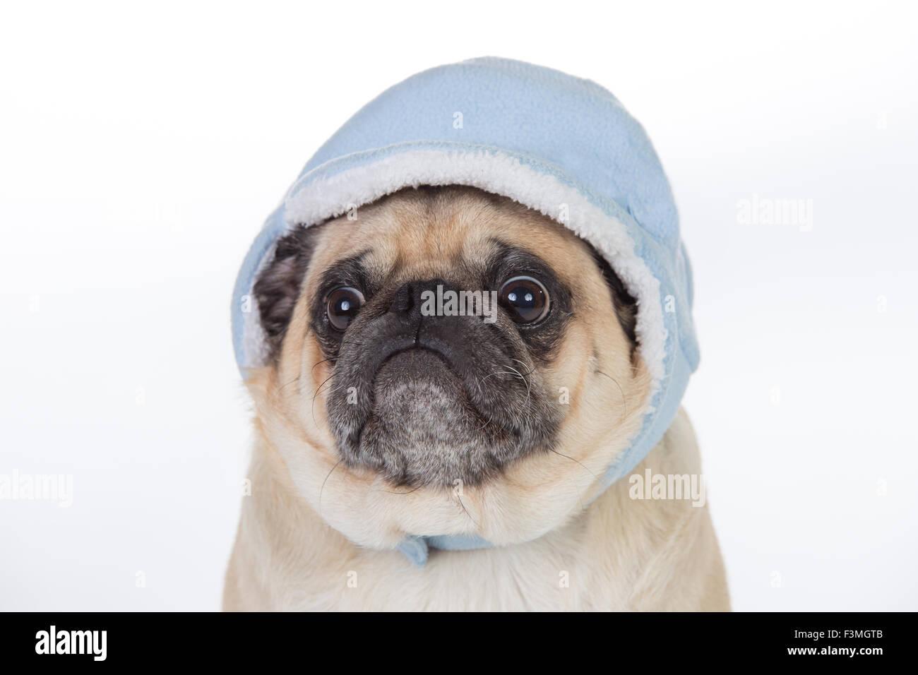 Humorous pug wearing baby beanie. - Stock Image