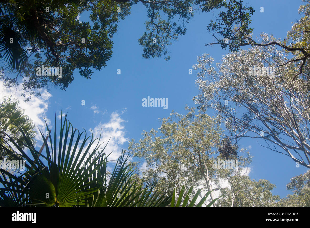 Typical Australian forest canopy with eucalyptus and palm trees Queensland Australia - Stock Image