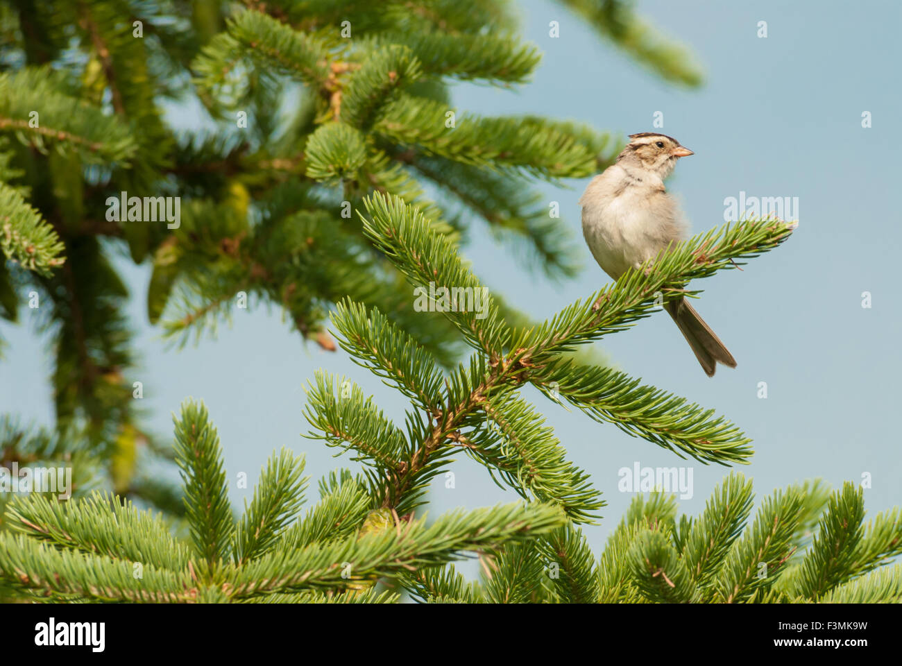 Clay-colored sparrow, Spizella pallida, perched on a conifer branch, St Albert, Alberta, Canada - Stock Image
