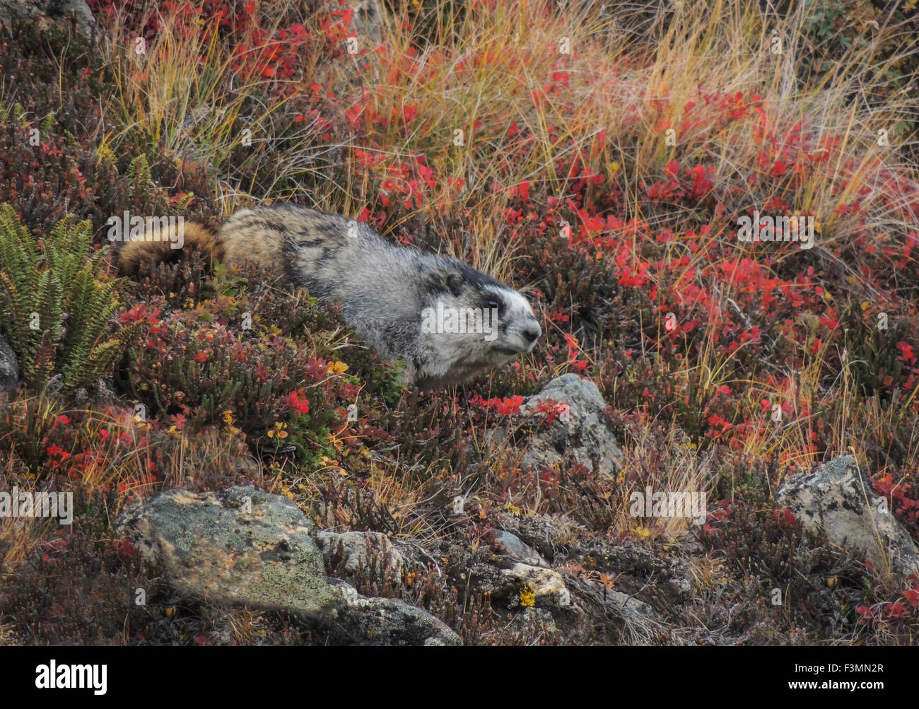 A Hoary Marmot (Marmota caligata) forages the fall tundra  on a rocky slope near its burrow at or above tree line - Stock Image