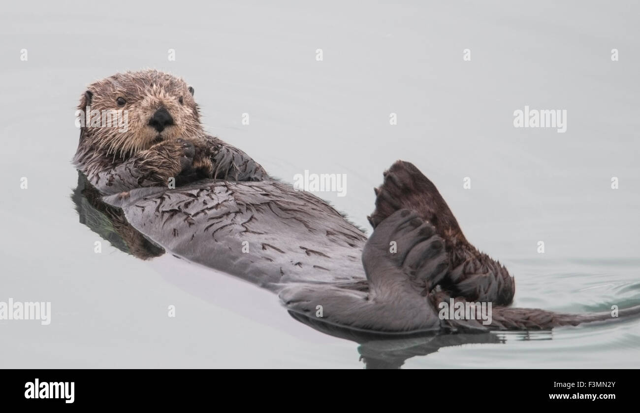 Sea otter (Enhydra lutris). Sea otters are one of the smallest of the Marine mammal family but one of the largest - Stock Image