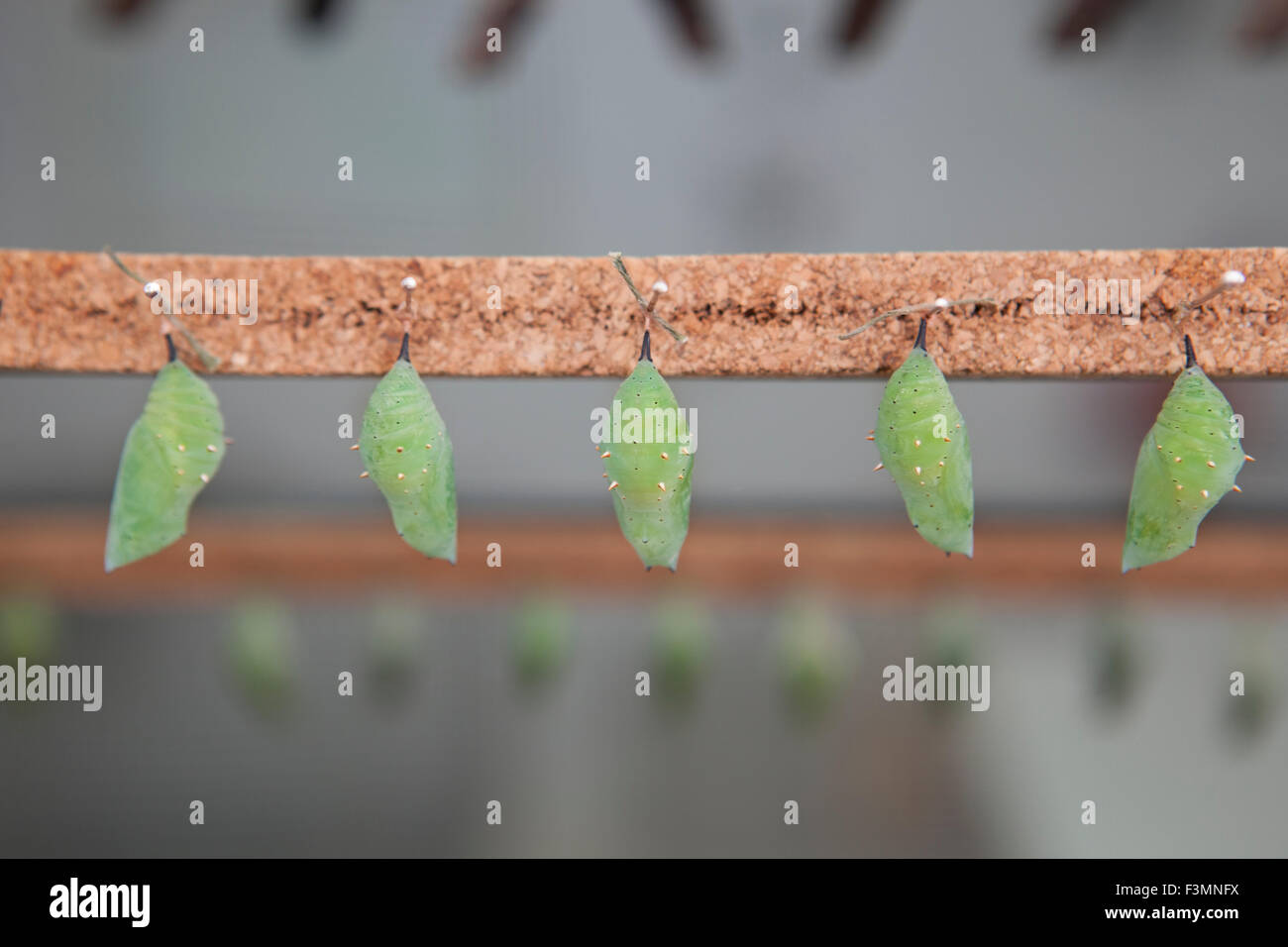 Five Four green pupas is hanging from pins - Stock Image