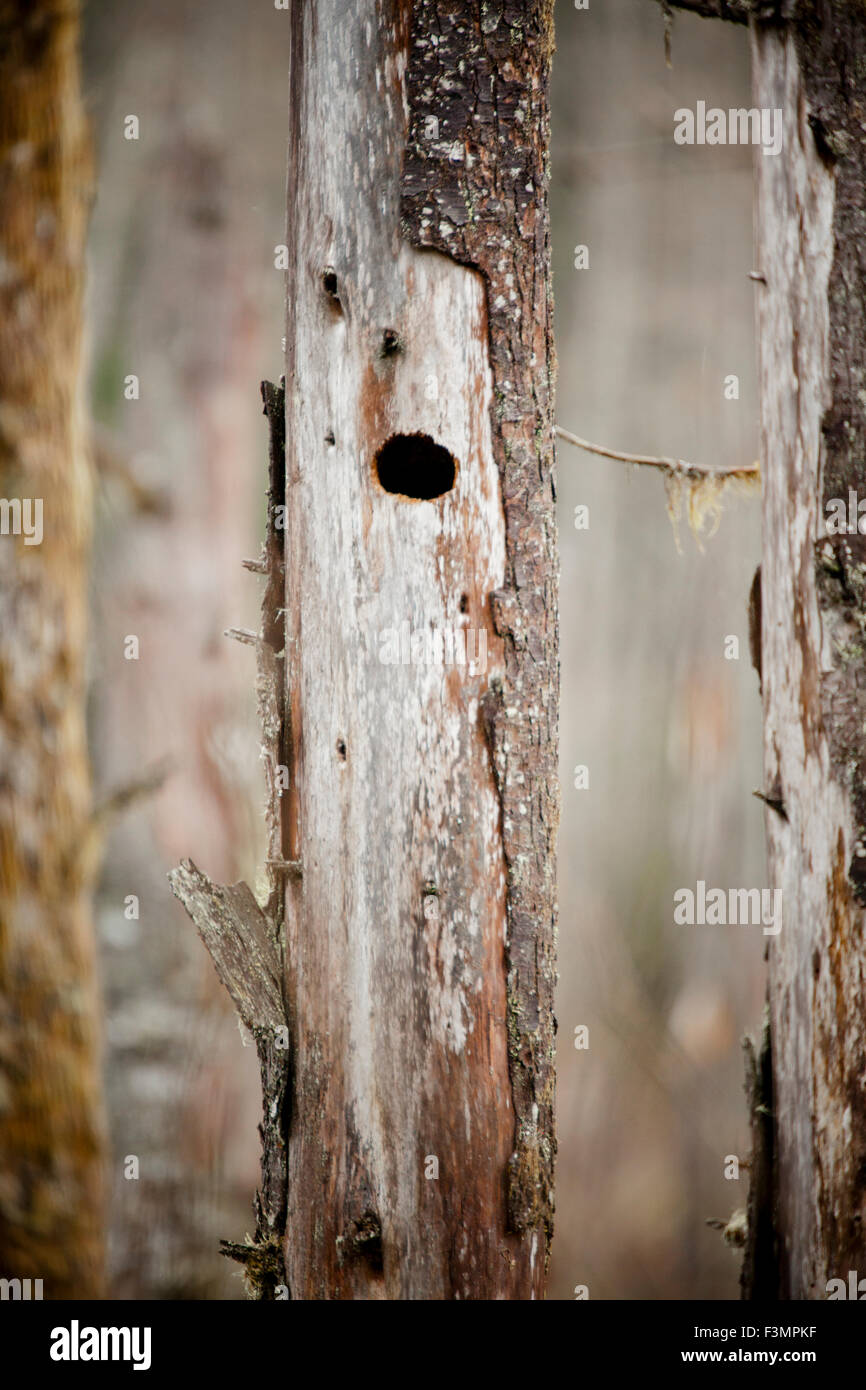 Bird nest cavity in a dead tree. - Stock Image