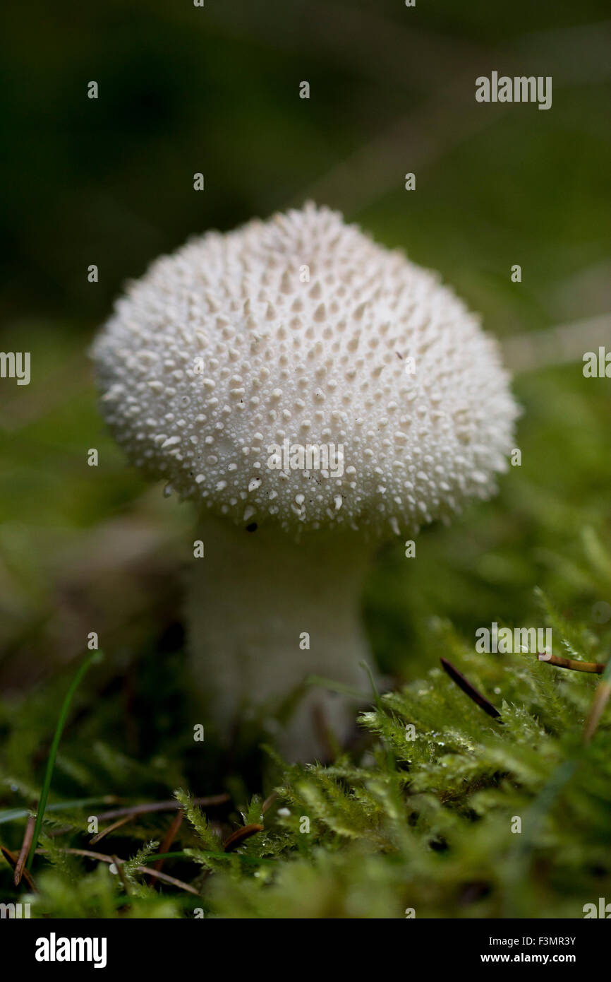 Common Puffball Stock Photo
