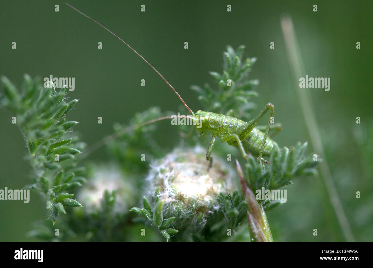 A grasshopper perches on a plant in Prado del Rey, Sierra de Cadiz, Andalusia, Spain - Stock Image