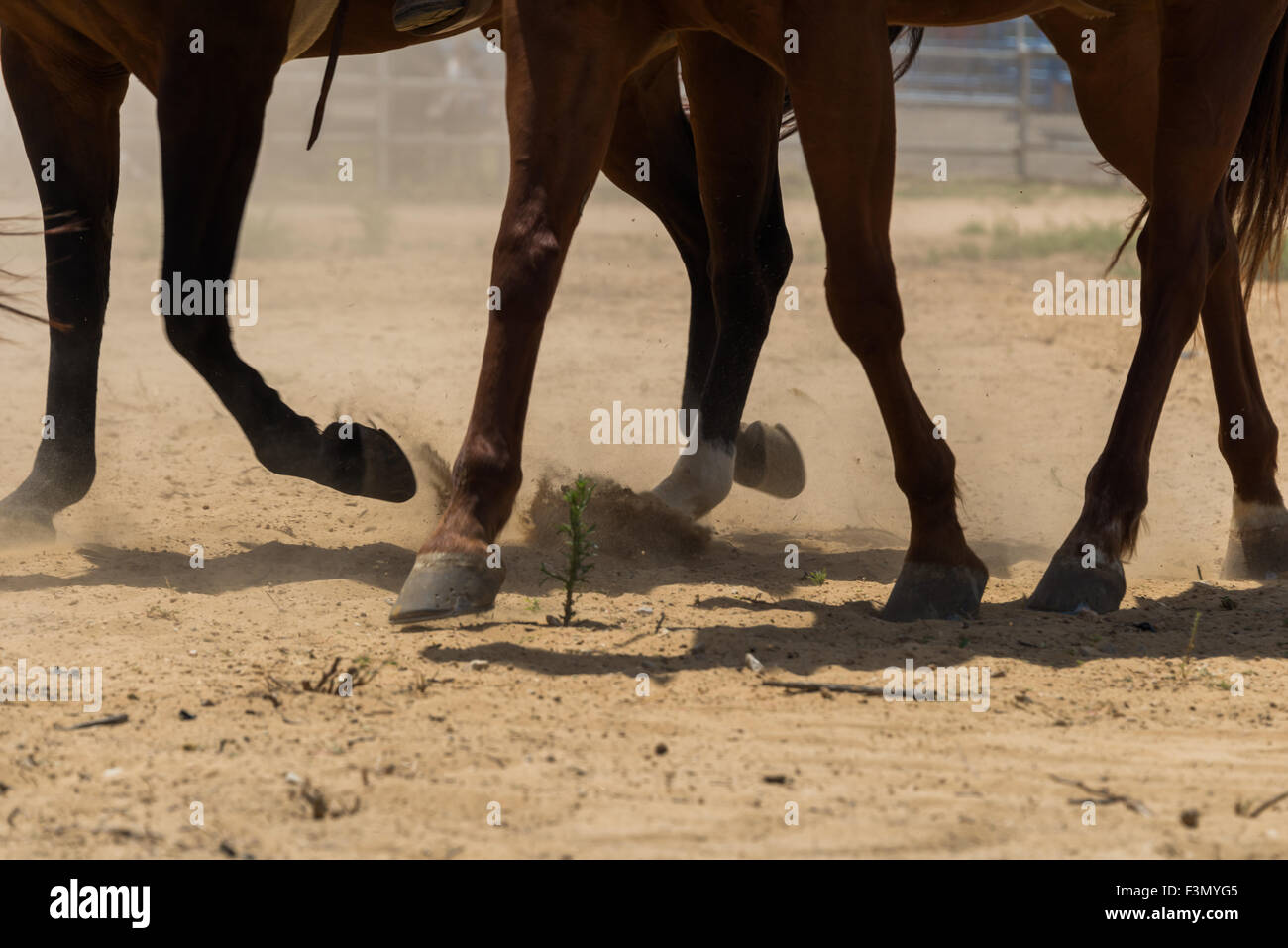 Horses in gallop - Stock Image