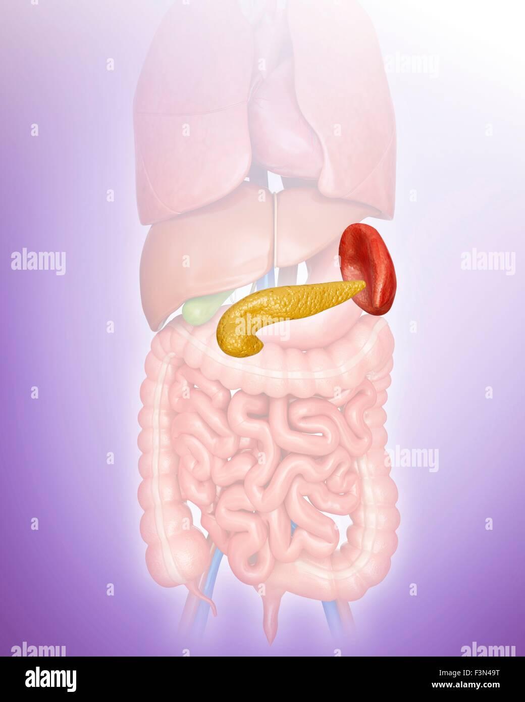 Pancreas And Spleen Illustration Stock Photo 88360212 Alamy