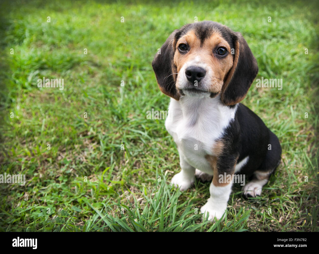 beagle puppy dog with floppy ears is at rest sitting on the green grass - Stock Image