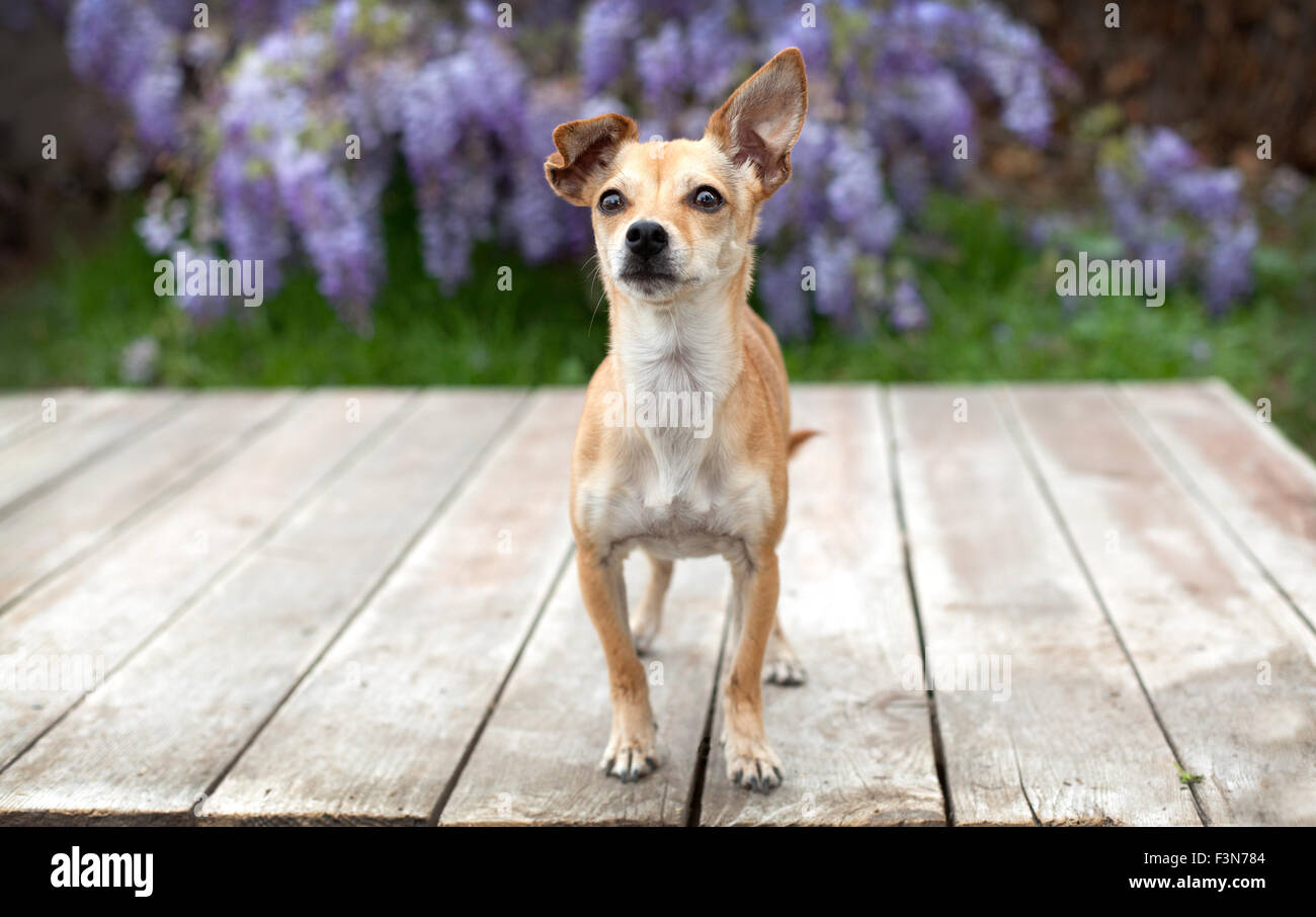 little pet chihuahua dog stands on deck of wood boards with her ear up in front of wisteria. Stock Photo