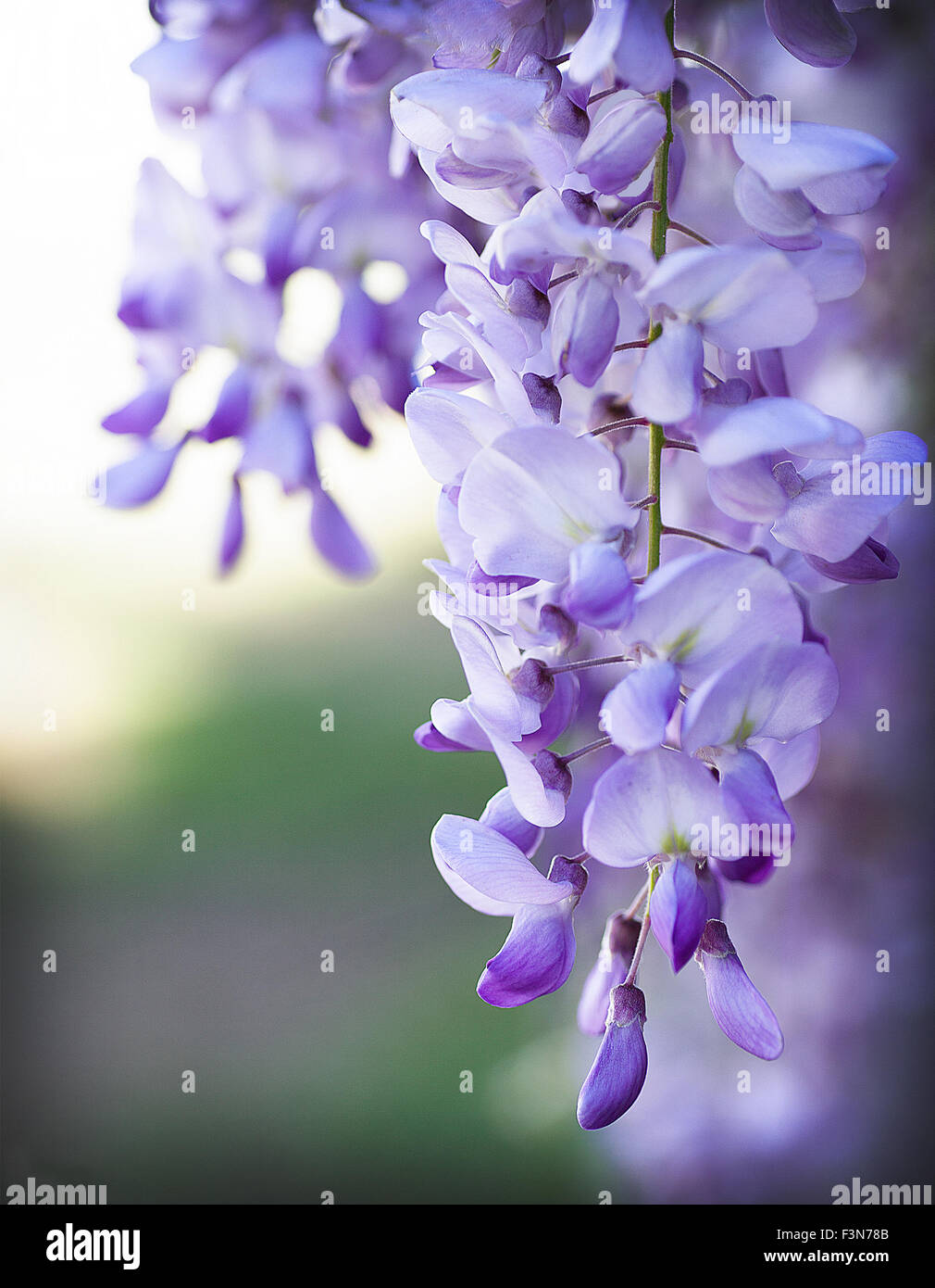 2 stems of purple and lavender wisteria floral vines hanging down against a blurred background - Stock Image