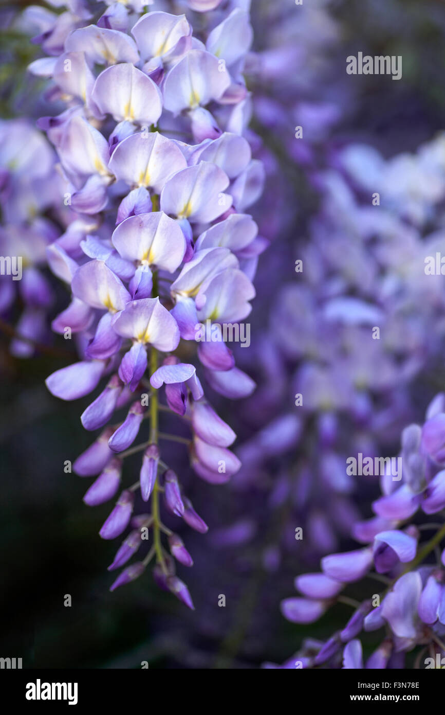 Single stem of Wisteria Vine Flower hanging down against a blurred background - Stock Image