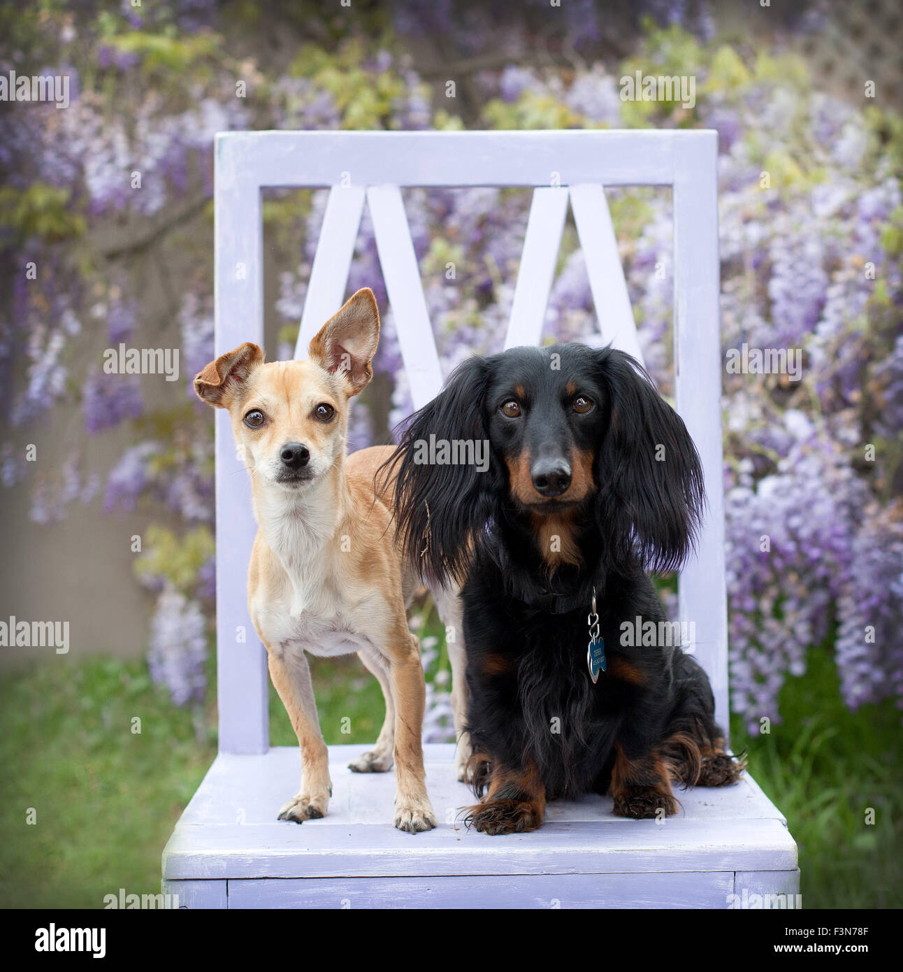 2 little dogs sitting on a lavendar wood chair in front of wisteria vine flowers looking bright eyes to the camera. - Stock Image
