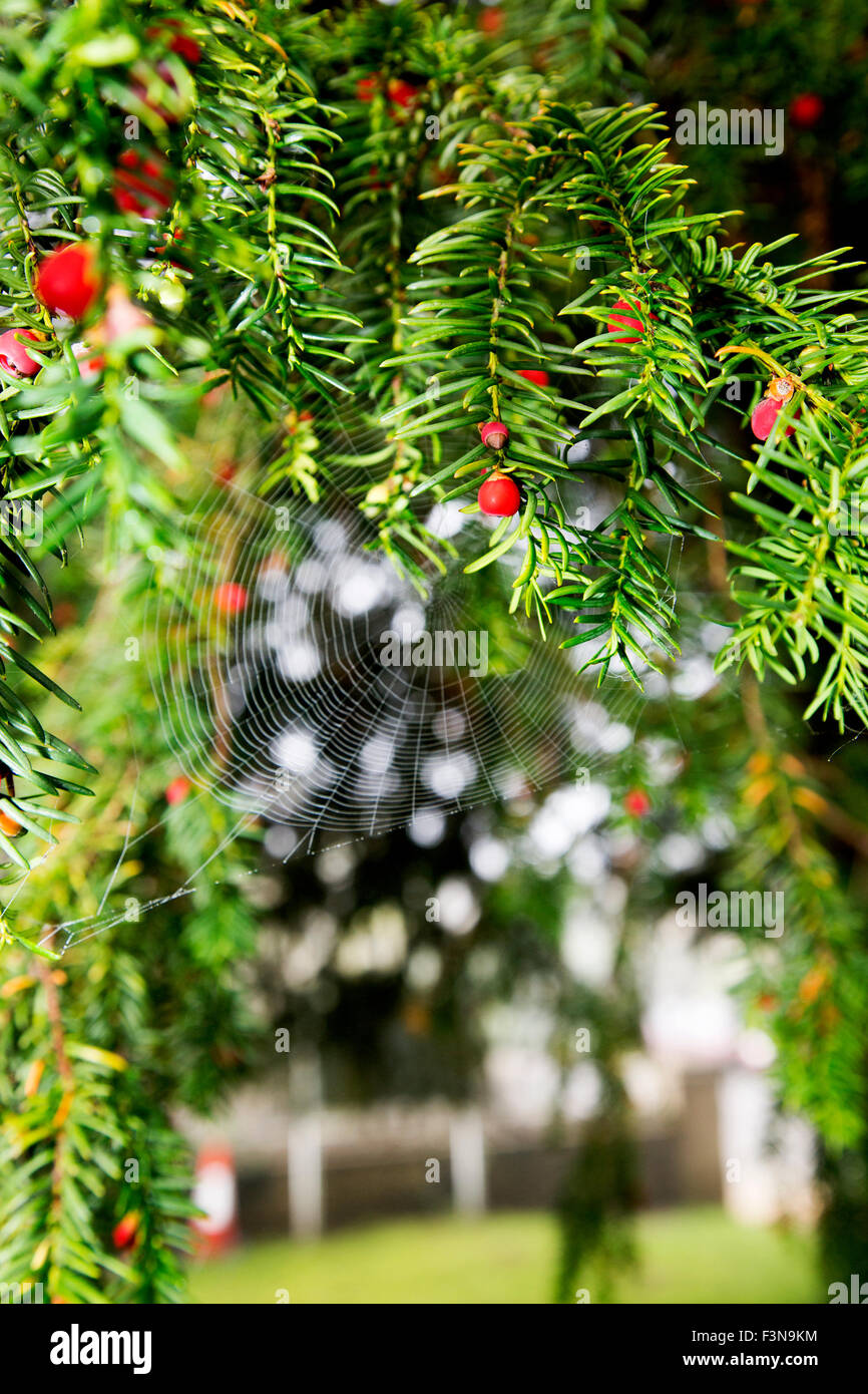 A close-up portrait format shot of berries and a cobweb on a yew tree. - Stock Image