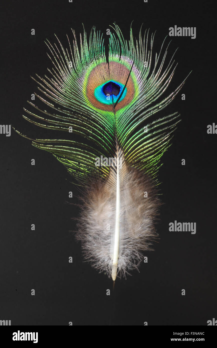 feather of Green Peafowl (Pavo muticus) - Stock Image