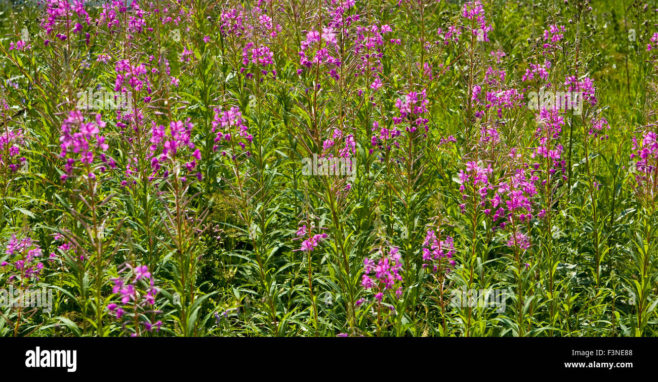 Meadow in blossom with wild pink flower willow weed stock photo meadow in blossom with wild pink flower willow weed mightylinksfo