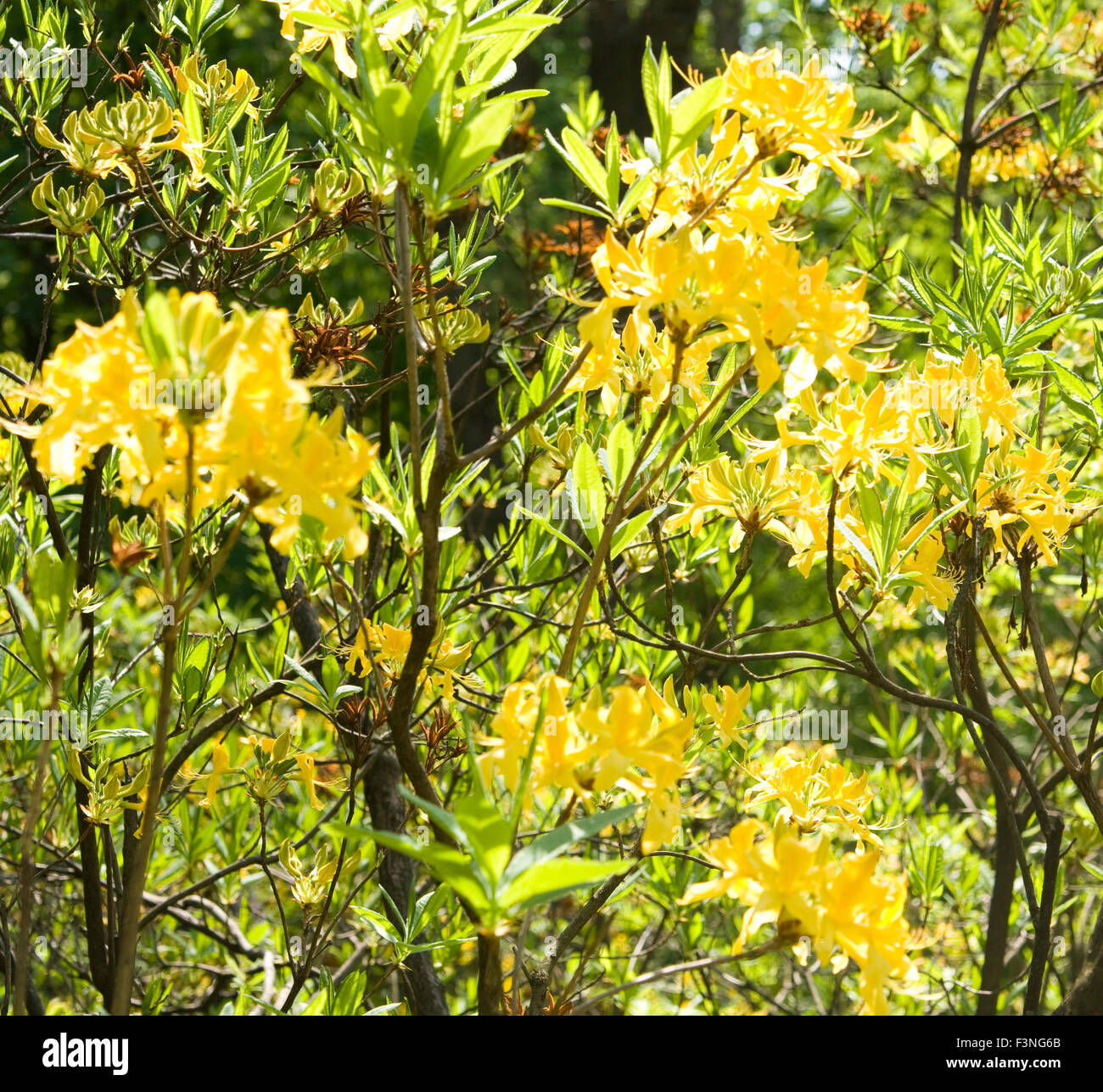 Branches Of Rhododendron Plant With Flowers Of Yellow Colour Stock