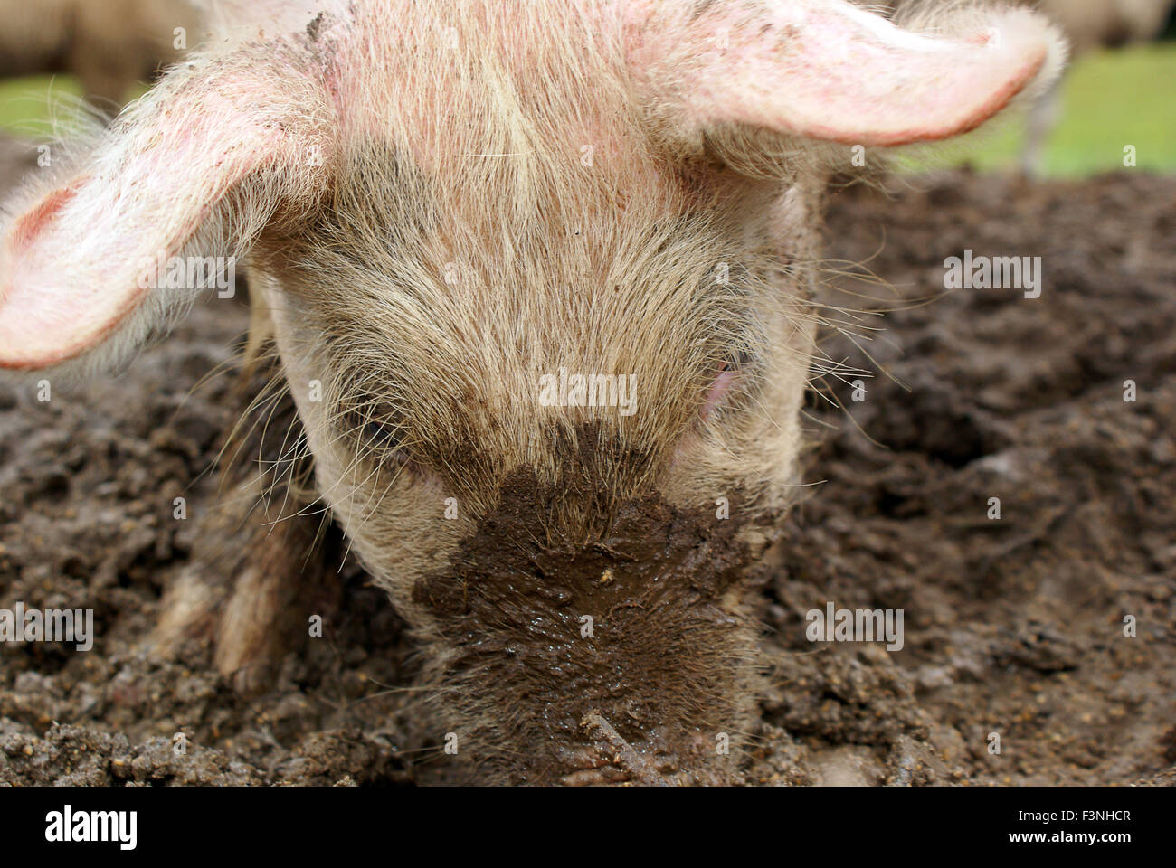 Pig finding goods in the mud - Stock Image