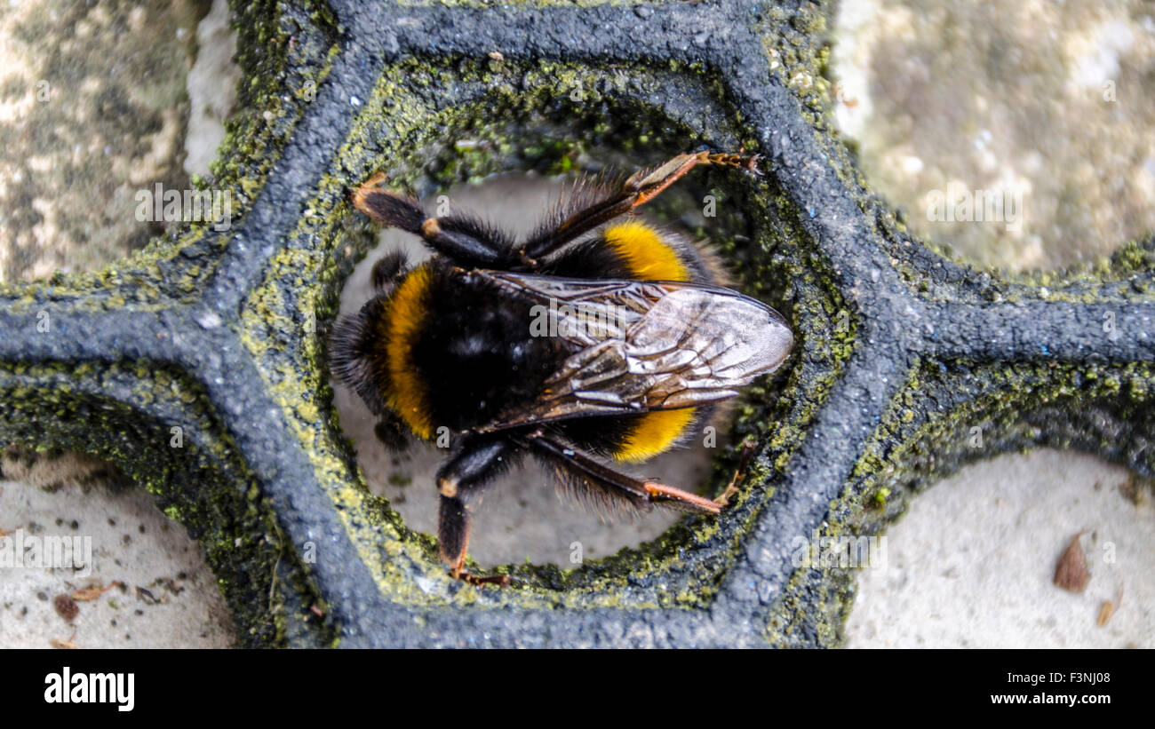 Macro close up of bee from above inside a honeycomb shaped doormat shoe scraper - Stock Image