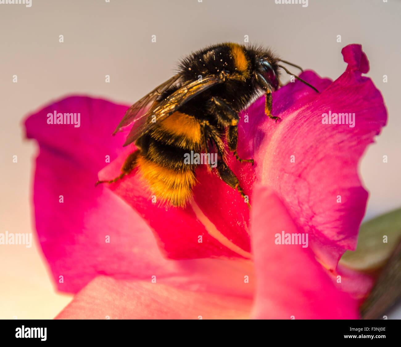 Macro close up of bee on pink petunia flower - Stock Image