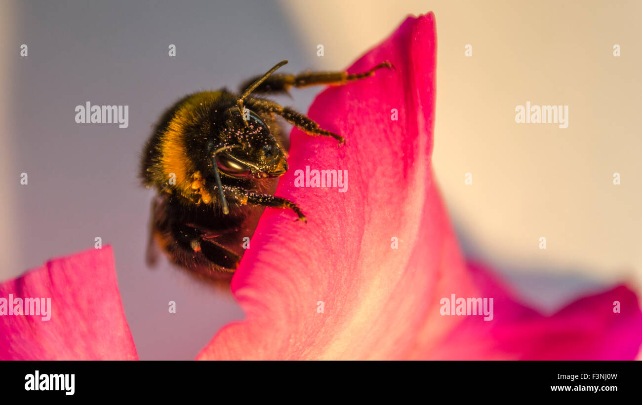 Macro close up of bee on a pink petunia flower - Stock Image