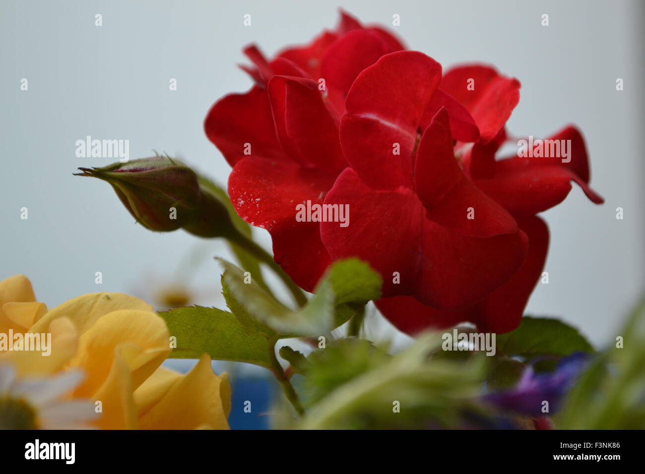 Red roses,roses,flowers,flower colors Stock Photo: 88371926 - Alamy