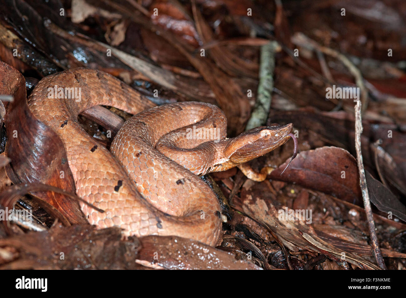 The image of Hump Nosed Pit Viper ( Hypnale hypnale ) was shot in Goa, India - Stock Image