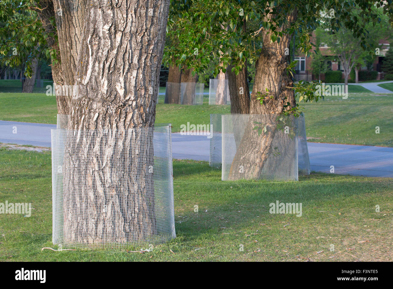 Balsam Poplar trees (Populus balsamifera) wrapped in wire for protection from beavers in city park - Stock Image