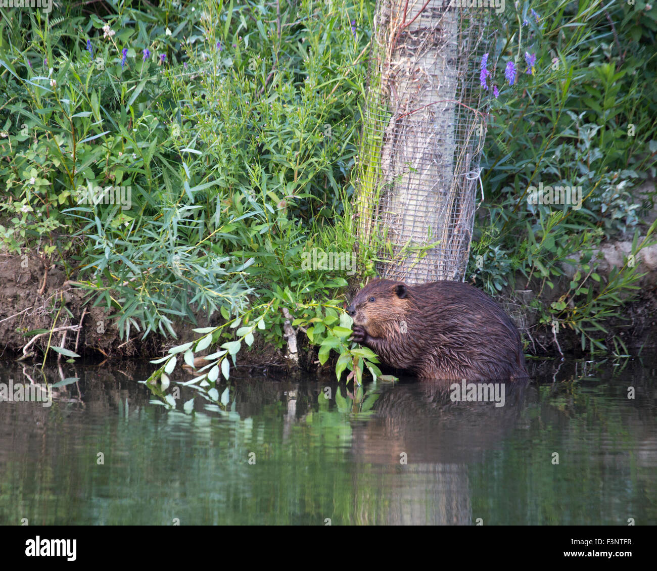 Beaver (Castor canadensis) eating shrub beside Trembling Aspen tree (Populus tremuloides) wrapped in wire for protection - Stock Image
