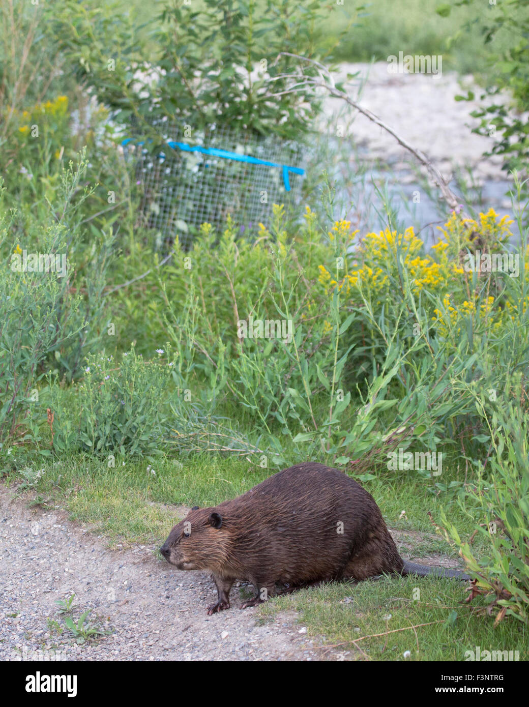 Beaver (Castor canadensis) in city park walking away from shrub wrapped in wire for protection - Stock Image