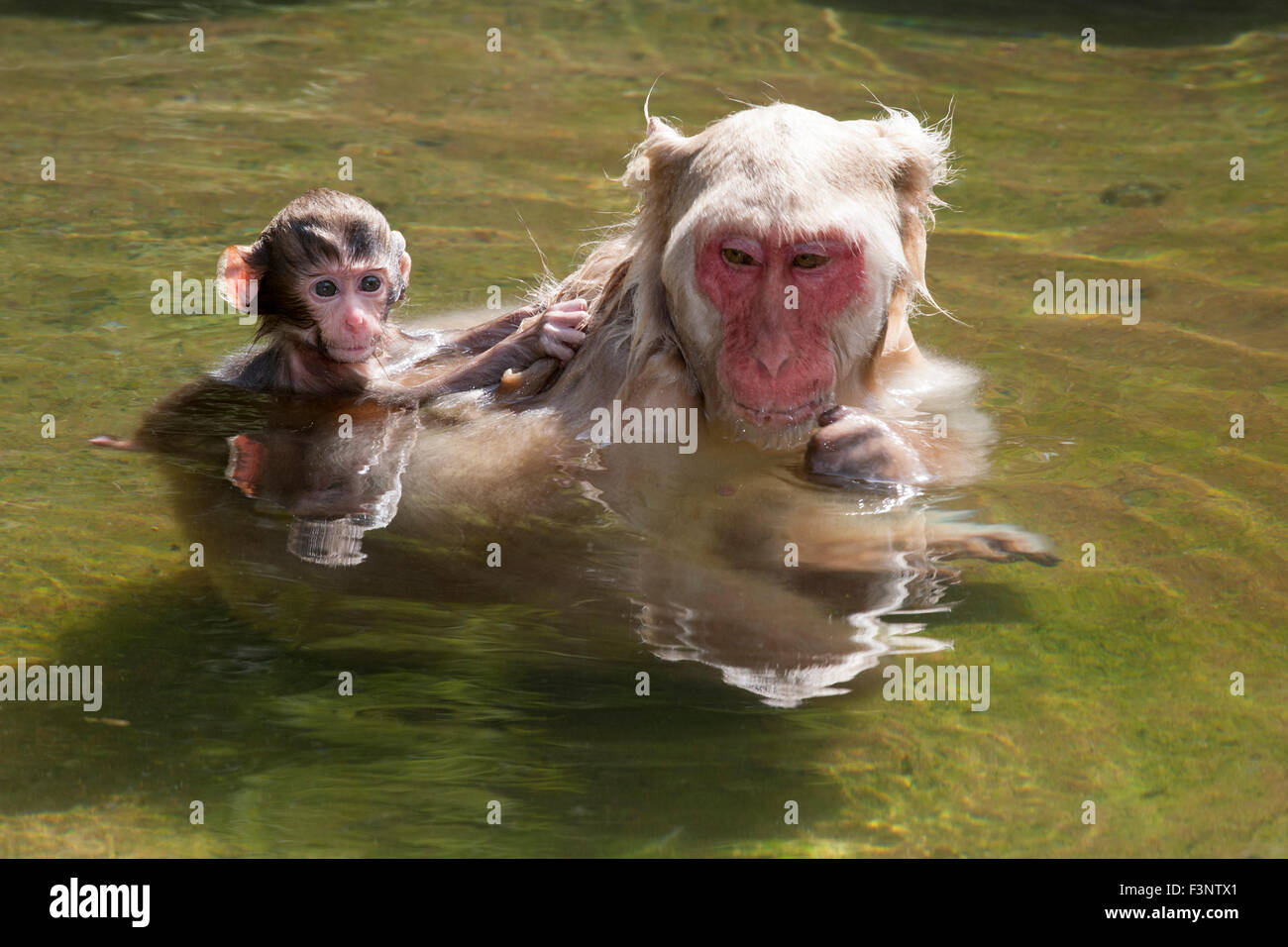 Japanese Macaque (Macaca fuscata) baby clinging to mother's back in hot spring - Stock Image