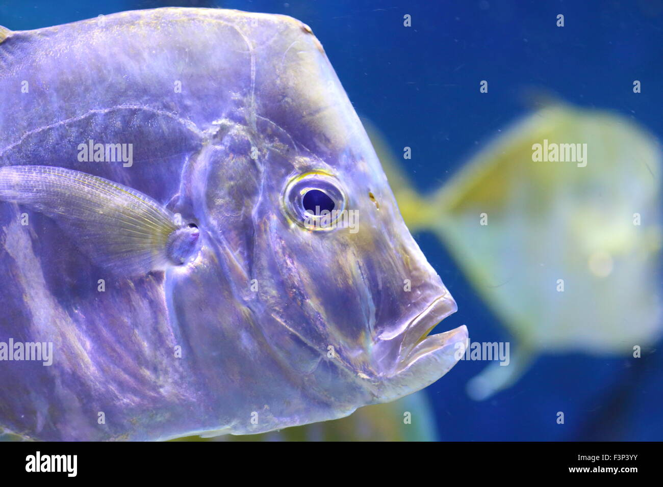 portrait of two swimming silver look-down pompano fishes in dark deep seawater - Stock Image