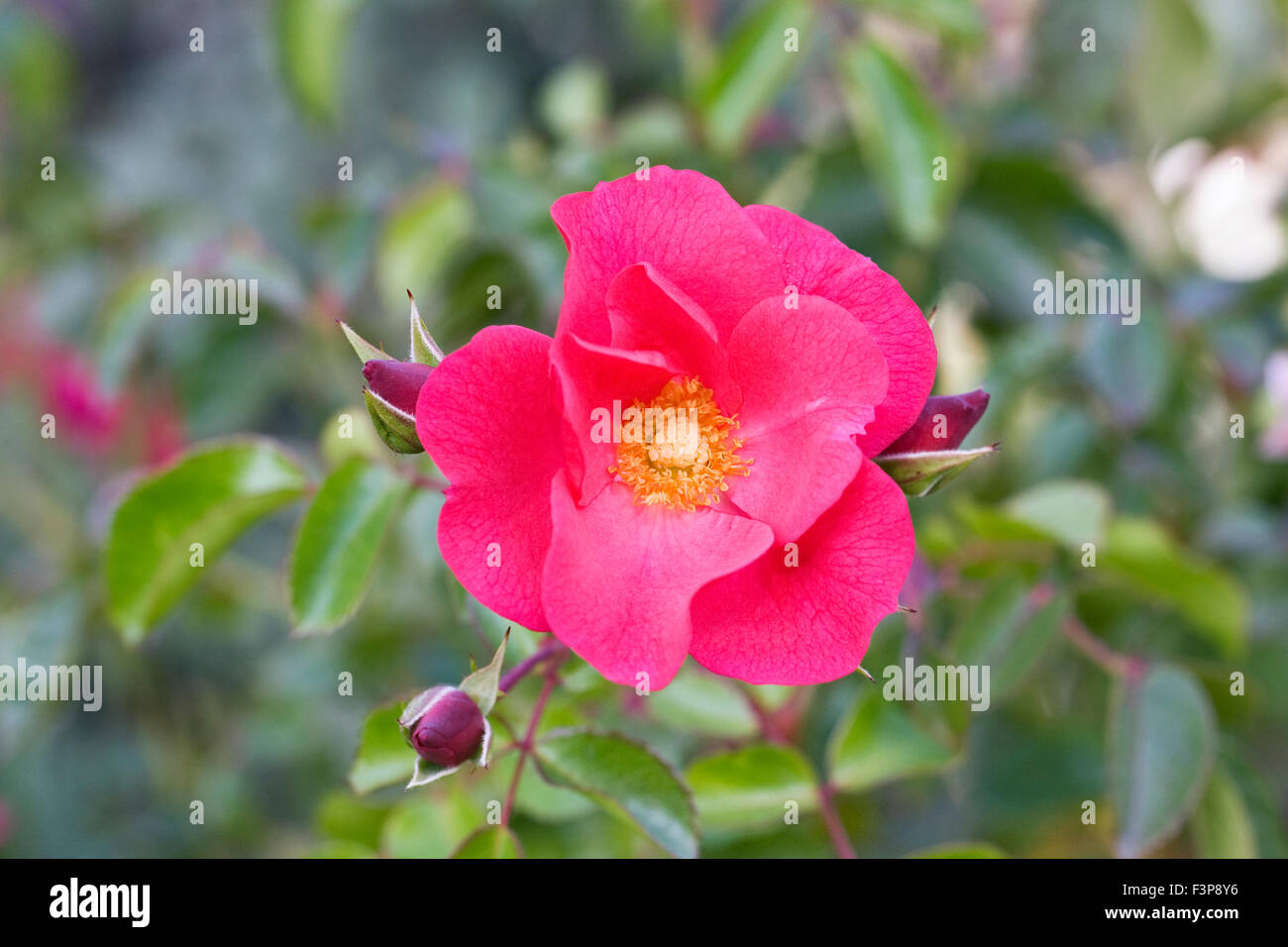 Rosa Wild Thing 'Jactoose' flower. - Stock Image